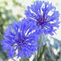 Cornflower resized promote