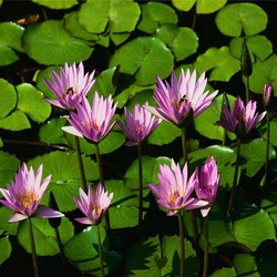 Water lilies promote