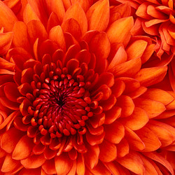 Chrysanthemum promote