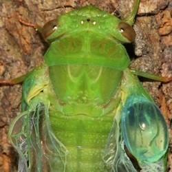 Cicada2 promote
